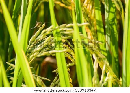 Beautiful view Green rice seedlings cornfield  - stock photo