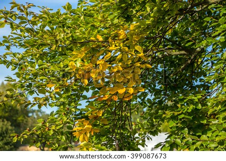 Beautiful view of light shining through autumn leaves on tree in a forest. Orange, green and yellow leaves in fall on blue sky background. Bright Autumn background with many colorful leaves. Sunny day - stock photo