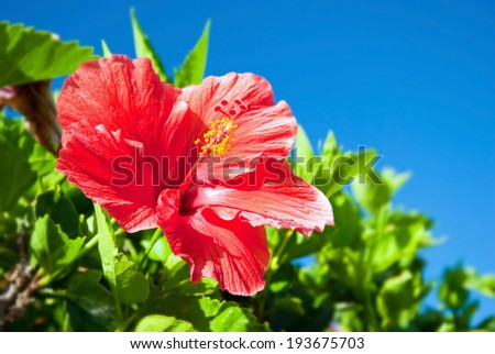 Beautiful view of red Hibiscus flower - stock photo