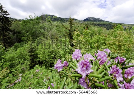 Beautiful view of the popular Blue Ridge Parkway destination Grandfather Mountain, with Catawba Rhododendron in full bloom. - stock photo