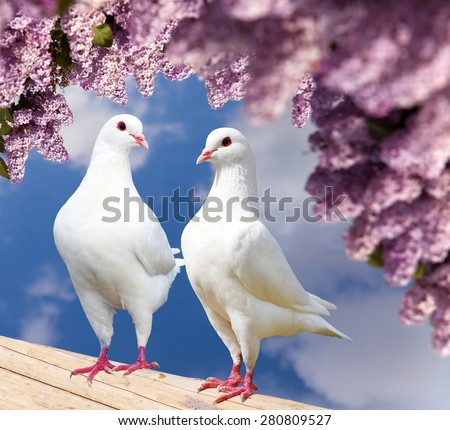 Beautiful view of two white pigeons on perch with flowering lilac tree background, imperial pigeon, ducula  - stock photo