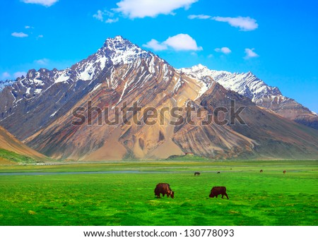 Beautiful view with Herd of Dzo (hybrid yak) free ranging at green field against background of distant colorful mountain range covered with melting snow, Suru Valley, Ladakh, Jammu & Kashmir, India - stock photo