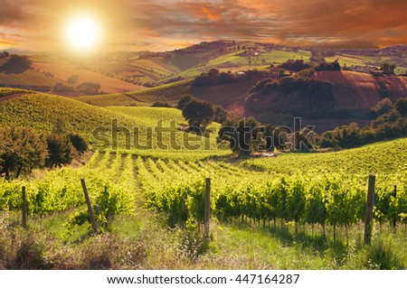 Beautiful vineyard at sunset - stock photo