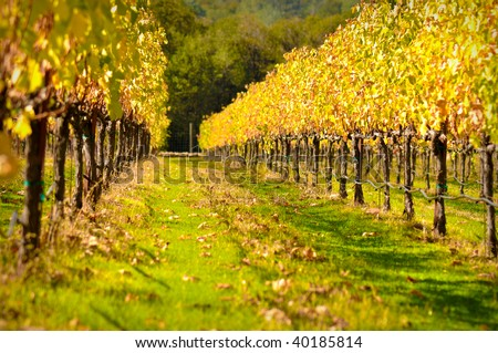 Beautiful Vineyard in Fall - stock photo