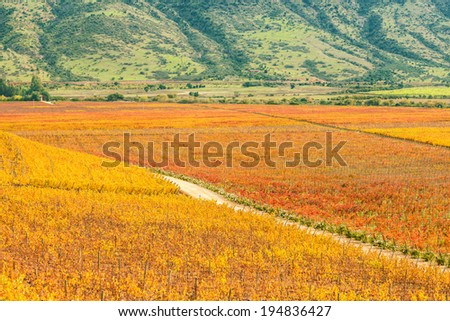 Beautiful Vineyard path in the central valley of Chile. - stock photo
