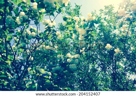 Beautiful vintage style blooming jasmine branches - stock photo