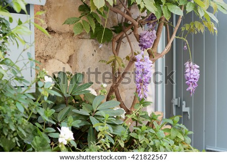 Beautiful violent flowers near the old wall and wooden window of typical Provence village, beautiful view, outdoors - stock photo