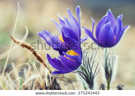 Beautiful violet crocuses in the grass on the mountain. First spring flowers. Macro image with small depth of field, vintage effect - stock photo