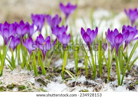 Beautiful violet crocuses on the snow - stock photo