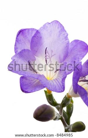 beautiful violet fresia closeup - stock photo