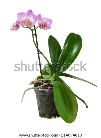 Beautiful violet orchid flower in pot blooming on a white background - stock photo