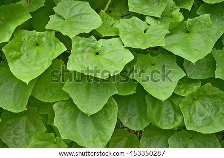 Beautiful vivid green leaves of wild vine leaves - stock photo