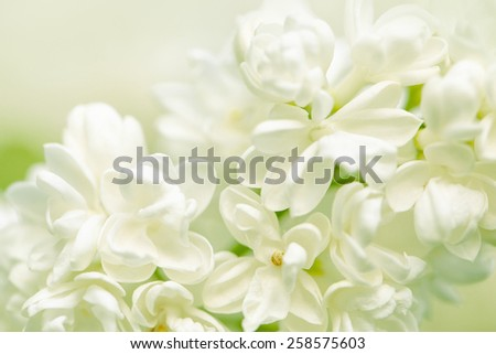 Beautiful vivid Lilac Flowers on Elder Bush in Spring - stock photo