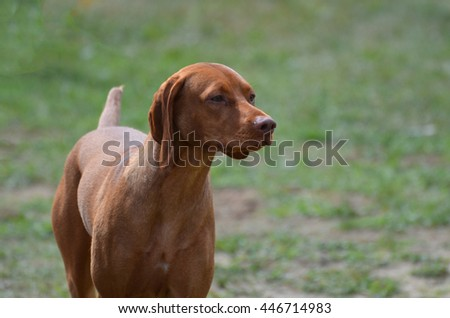 Beautiful vizsla purebred dog with a sweet face. - stock photo