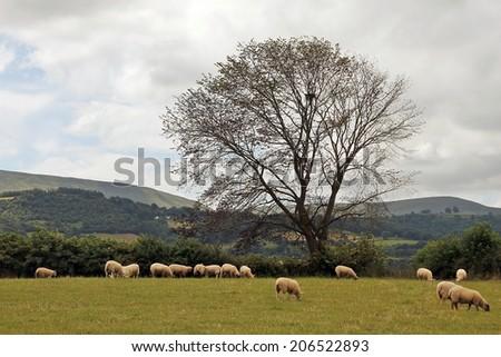 Beautiful Wales countryside, sheep - stock photo