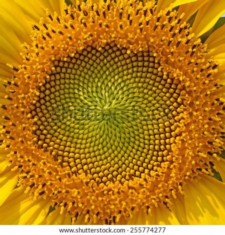 beautiful warm sunflower close - stock photo