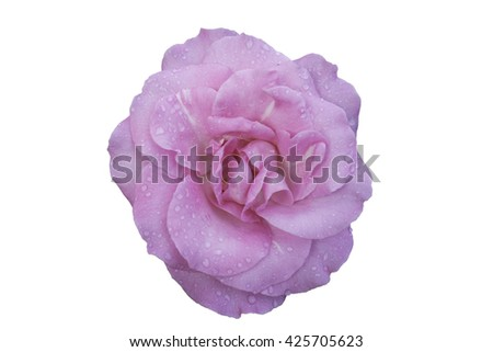 Beautiful water drop on pink roses isolated on white background and clipping mask - stock photo