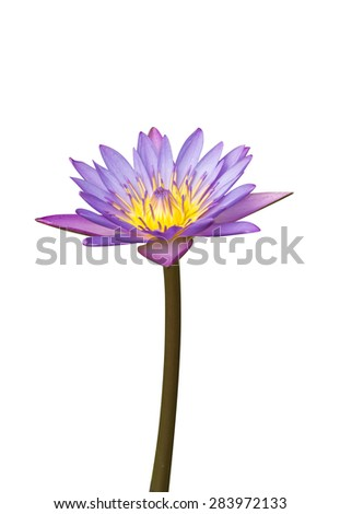Beautiful water lily hybrid flower.  - stock photo