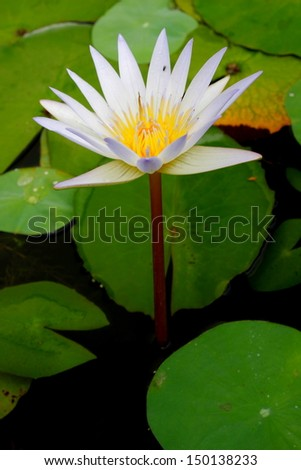 Beautiful water lily in the pond - stock photo