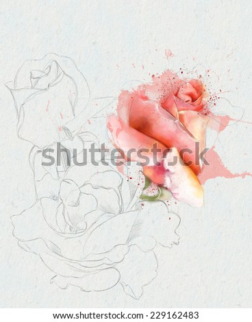 beautiful  watercolor rose, sketch - stock photo