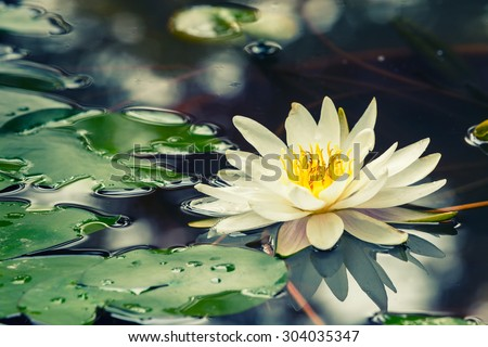 Beautiful  waterlily or lotus flower blooming in the pond - stock photo