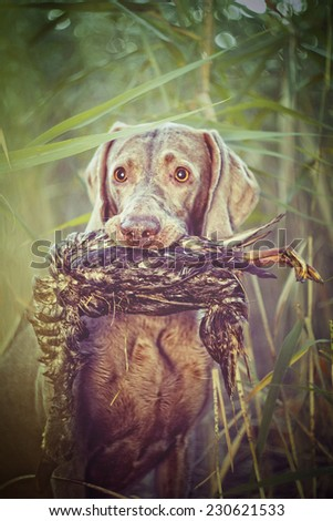 beautiful weimaraner dog hunting in autumn nature - stock photo