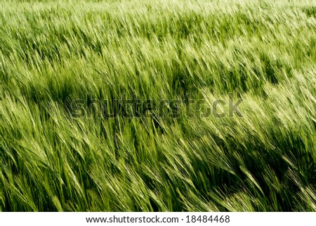 Beautiful wheat field detail - stock photo