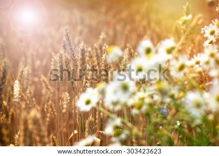 Beautiful wheat field in late afternoon - midsummer eve - stock photo