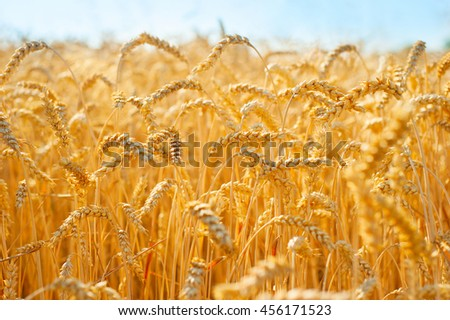 Beautiful wheat field in the sunny summer day - stock photo