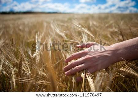 Beautiful wheaten field and blue sky. - stock photo