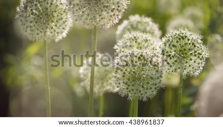 Beautiful White Allium circular globe shaped flowers blow in the wind. UHD - stock photo