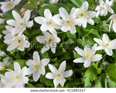 beautiful white anemone flowers in a basket. - stock photo