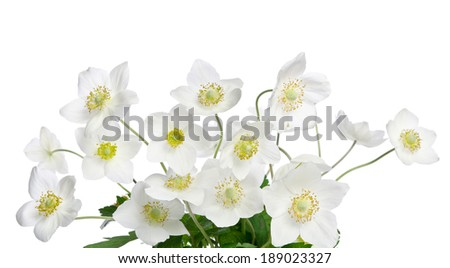 Beautiful white anemones flowers isolated on white - stock photo