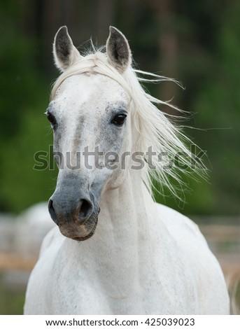 beautiful white arabian stallion fron view - stock photo