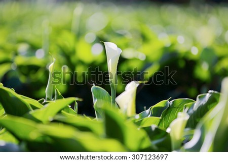 Beautiful white Calla Lily blooming in a large garden under bright sunshine (with blurry effect) - stock photo