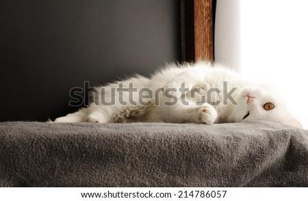 Beautiful white cat - stock photo