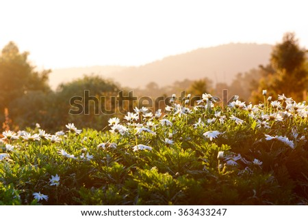 Beautiful white chrysanthemum flowers with bokeh in morning - stock photo