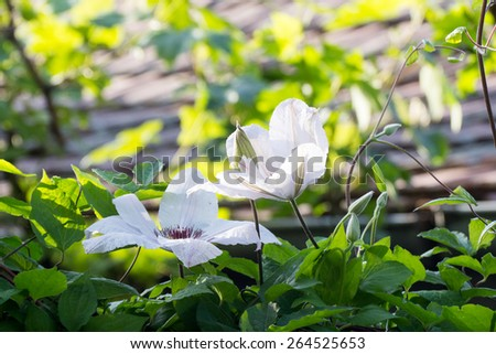 Beautiful white clematis plant with flowers and natural background - stock photo