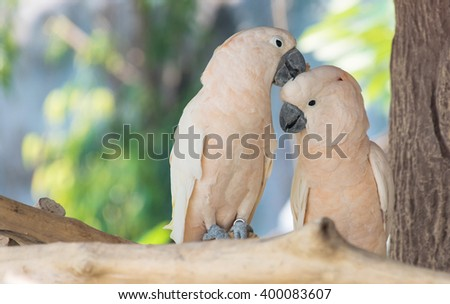 Beautiful white Cockatoo, Sulphur-crested Cockatoo (Cacatua galerita), standing on a branch.lovely couple cockatoo.love moment. - stock photo