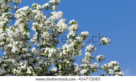 beautiful white curvy delicate flowers on the branches of apple trees appeared in early spring against a bright blue sky - stock photo