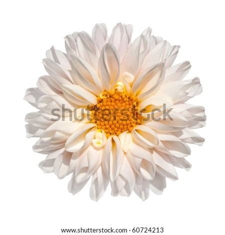 Beautiful White Dahlia Flower with Yellow Center Isolated on White Background - stock photo