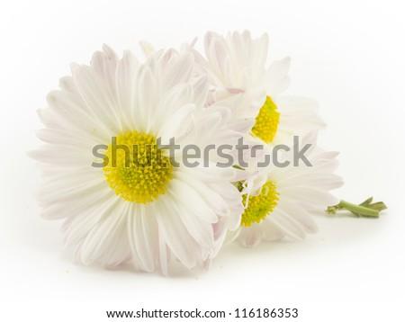 beautiful white daisy field on a white background - stock photo