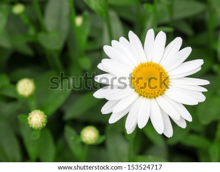 Beautiful white daisy growing in a summer garden. - stock photo