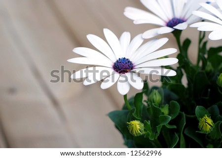 Beautiful white daisy plant on a backyard deck waiting to be transplanted - stock photo