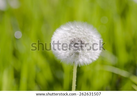 Beautiful white Dandelion seeds on green background - stock photo
