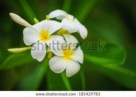 Beautiful white flowers of Plumeria (Frangipani) on blurred green foliage background - stock photo