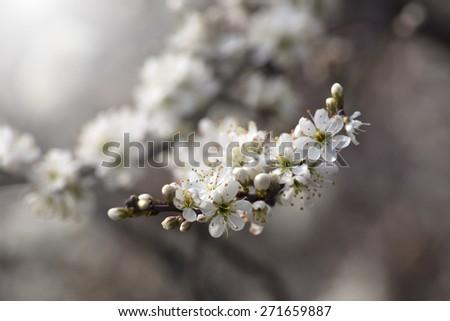 Beautiful white flowers on the bush - stock photo