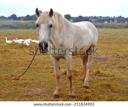 Beautiful white horse on the meadow - stock photo