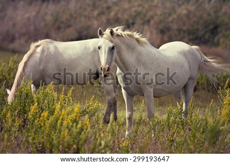 Beautiful white horses grazing in the field - stock photo