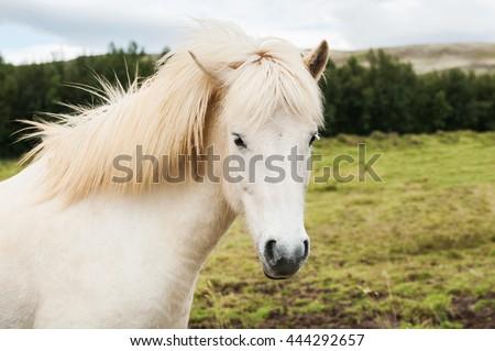 Beautiful white icelandic horse in nature background. South Iceland. - stock photo